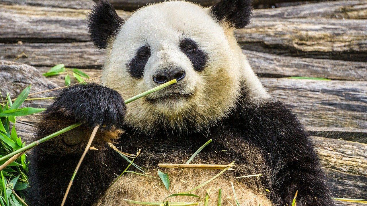 動画 シロでもクロでもない世界で、パンダは笑う。